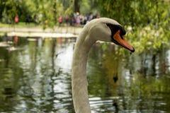 Ursnygg fågel Vit swan royaltyfria bilder
