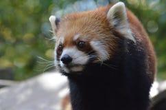 Ursnygg framsida av en Lesser Panda Arkivfoton