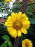 Ursnygg gul blommaechinacea från trädgård Arkivbild