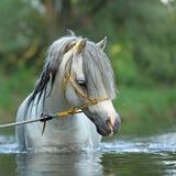 Ursnygg hingst som simmar i floden royaltyfri foto