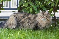 Ursnygg katt på gräsgräsplanen Hypoallergenic kattunge av den siberian aveln Arkivfoton