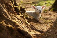 ursnygg lamb Royaltyfri Fotografi