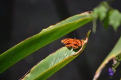 Ursnygg orange ek Tiger Butterfly i solen Royaltyfria Bilder