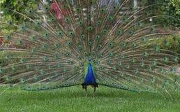 ursnygg påfågel Fotografering för Bildbyråer