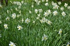Ursnygg pingstliljaglänta som på våren värma sig värme arkivfoto