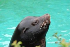 Ursnygg profil av en sjölejon Arkivfoton