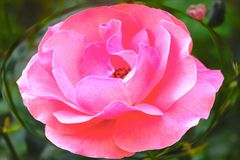 Ursnygg rosa färgros i ellips på grön bakgrund! royaltyfria foton