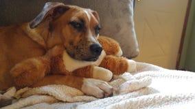 Ursnygg sömnig hund med leksaken för välfyllt djur för kudde arkivbild