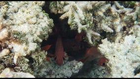 Ursnygg sikt av den undervattens- världen Döda korallrever, fiskar, havsgräs, vit sand och turkosvatten Indiska oceanen som snork arkivfilmer