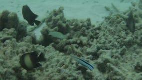 Ursnygg sikt av den undervattens- världen Döda korallrever, havsgräs, vit sand och turkosvatten Indiska oceanen som är undervatte stock video