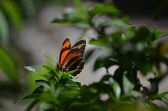 Ursnygg sikt av en ek Tiger Butterfly på våren Arkivfoton