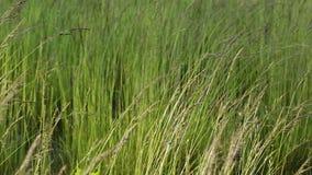 Ursnygg sikt av grönt gräs som flyttar sig litet vid vind Ursnygga naturbakgrunder stock video
