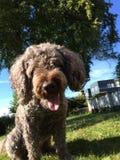 Ursnygg spansk vattenhund för hund Royaltyfri Foto