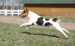 Ursnygg spring för prästRussell terrier Royaltyfri Fotografi