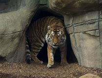 Ursnygg tiger på den Indianapolis zoo royaltyfri fotografi