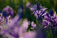 Ursnygga blåa blomningar av camas liljor glöder i aftonvårsolen Royaltyfri Fotografi