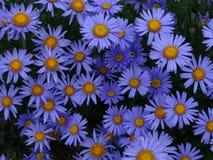 Ursnygga blommande alpina aster som är blygsamma och Royaltyfri Fotografi