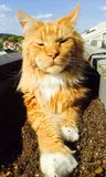 Ursnygga Cat Ginger Red Maine Coon Arkivfoto