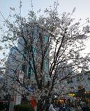 Ursnygga körsbärsröda träd som blommar på streetten royaltyfri foto
