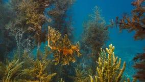 Ursnygga lövrika Seadragon som kamoufleras som havsväxt arkivfoto