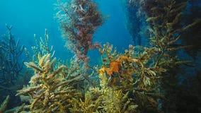 Ursnygga lövrika Seadragon som kamoufleras som havsväxt royaltyfria bilder