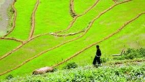 ursnygga lantgårdfält, risfält terrasserar, Sapa, Vietnam stock video