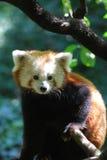 Ursnygga Lesser Panda Bear i ett träd Arkivfoto