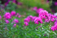 Ursnygga magentafärgade blommor i fantastisk blom- dekor Arkivfoton
