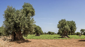 Ursnygga Olive Trees och odlade fält Royaltyfria Foton