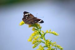 Ursnygga prickiga Owl Butterfly på gula blommor arkivbild