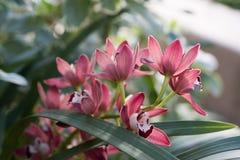 Ursnygga rosa orkidér i grönt gräs med naturligt ljus royaltyfria bilder