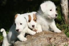 Ursnygga valpar av Jack Russell Terrier Arkivbilder