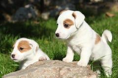 Ursnygga valpar av Jack Russell Terrier på stenen Arkivfoton