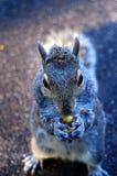 Ursnyggt äta för ekorre Arkivfoton