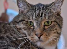 Ursnyggt hus Cat Poses Suspiciously Royaltyfria Foton