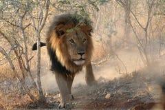 Ursnyggt lejon Arkivfoto