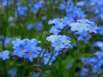 Ursnyggt ljus - blått glömmer att jag inte blommor blomstrar i drottningen Elizabeth Park Garden arkivfoto