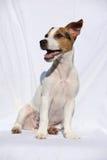 Ursnyggt sammanträde för stålarrussell terrier Royaltyfria Foton