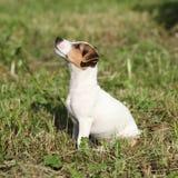 Ursnyggt sammanträde för stålarrussell terrier i trädgården Arkivfoto