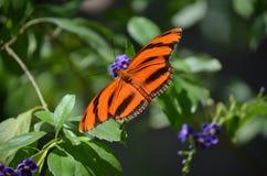 Ursnyggt slut upp av en ek Tiger Butterfly Arkivfoto