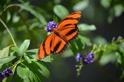 Ursnyggt slut upp av en ek Tiger Butterfly i natur Arkivfoto