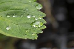 Ursnyggt slut upp makrosikt av det gröna jordgubbebladet med regndroppar Härliga gröna natutrebakgrunder royaltyfri bild