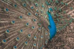 Ursnyggt tonat utomhus- för påfågelcloseup Royaltyfri Foto
