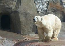 Urso Imagem de Stock Royalty Free
