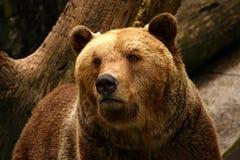 Urso Imagens de Stock