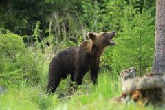 Urso Fotos de Stock