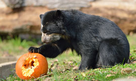 Urso andino Foto de Stock