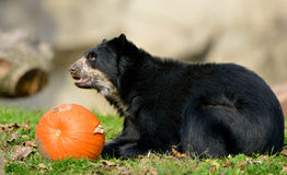 Urso andino Fotografia de Stock