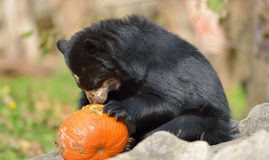 Urso andino Imagem de Stock