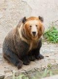 Urso bonito Foto de Stock